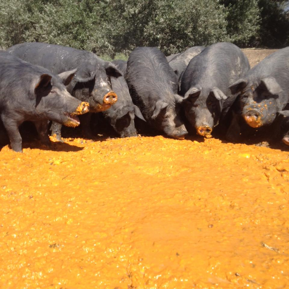 What Do Pigs Eat?