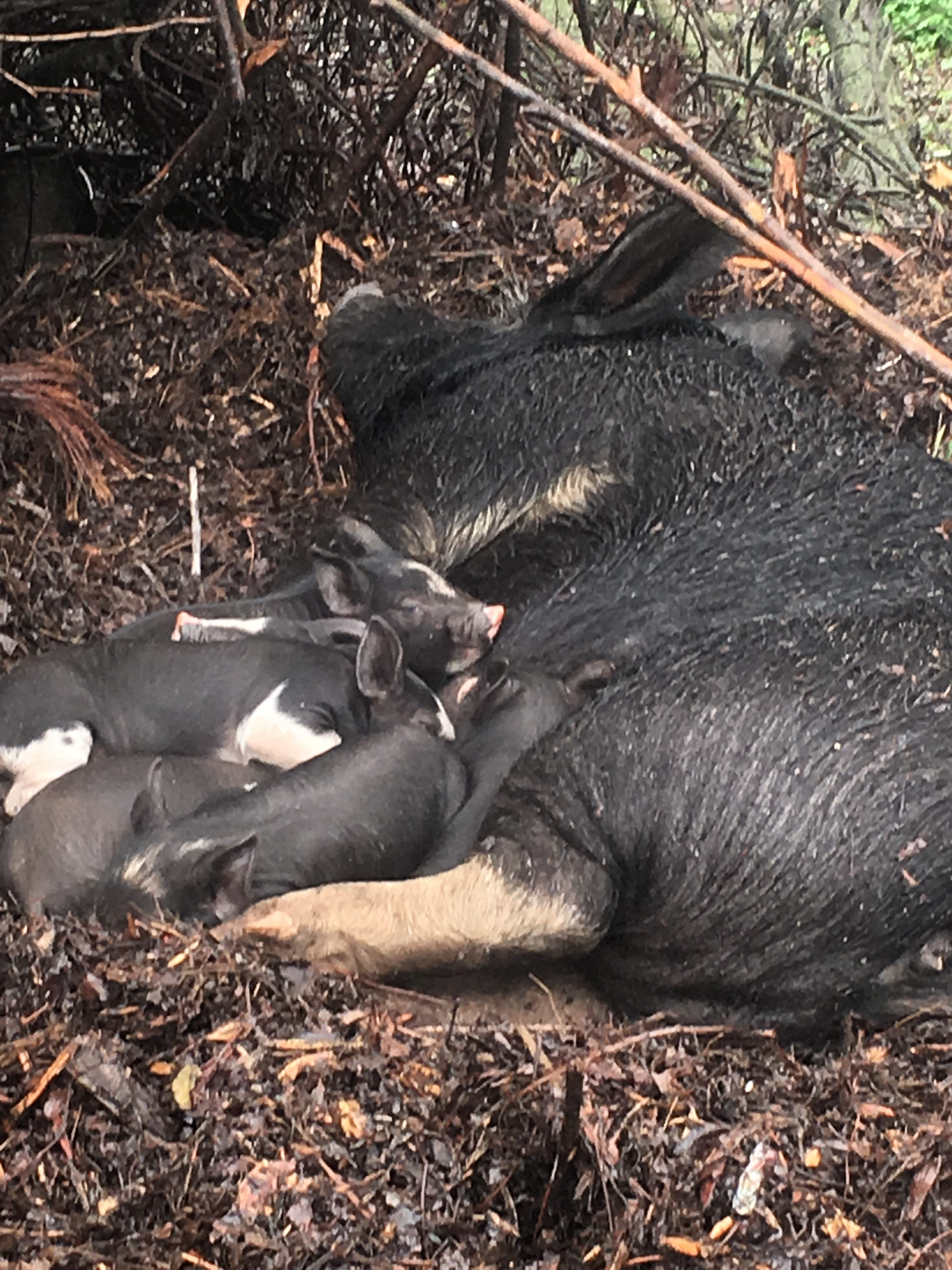 Winter on the Farm – Christmas Eve Piglets